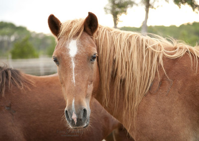 Horses_born_wild_on_Shackleford_Banks